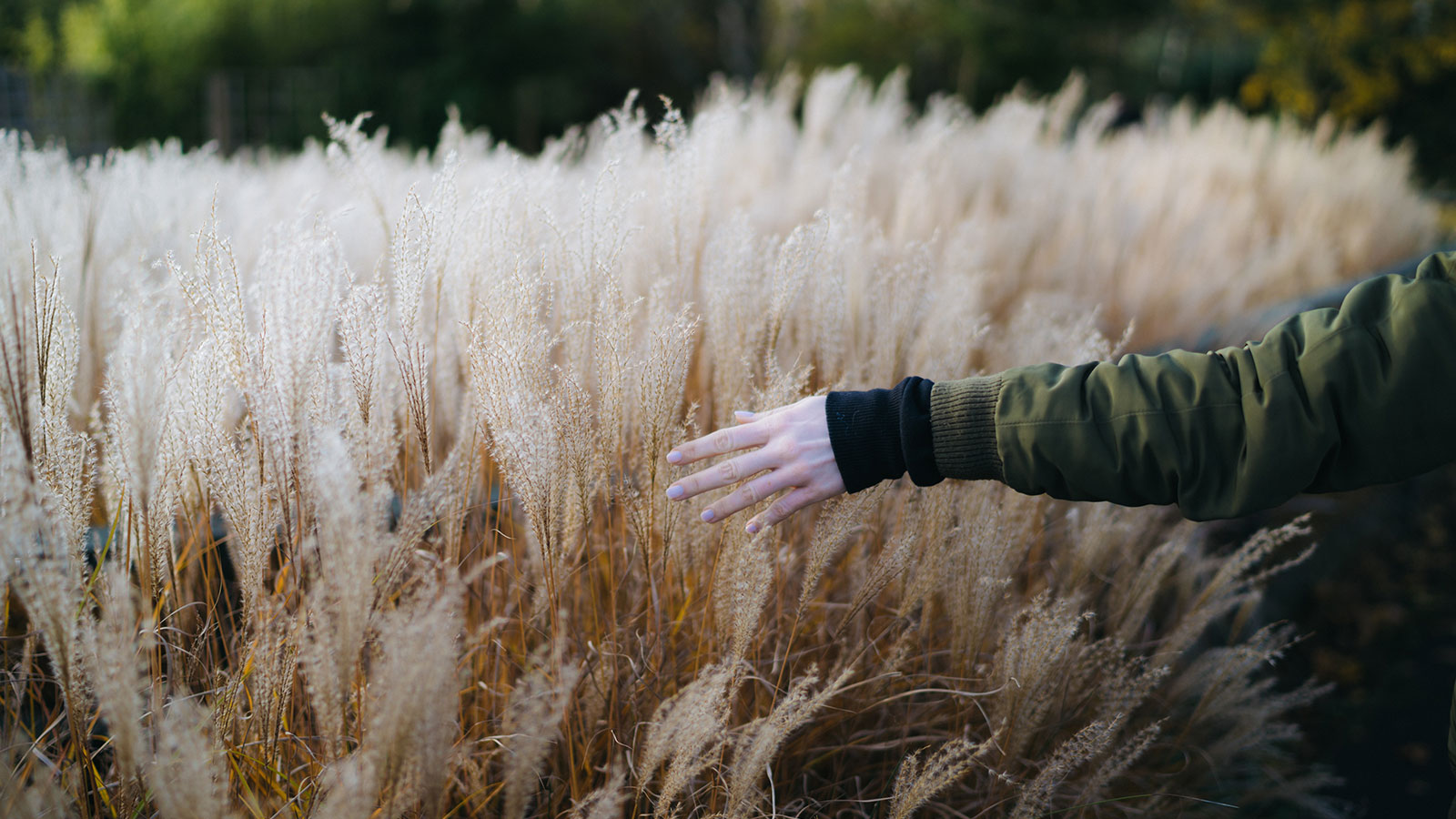 Hand brushing wheat in a field